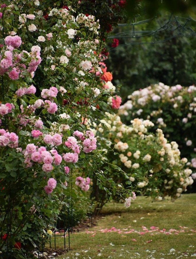 dzikie-roze-roze-na-gorze5